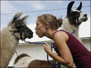 Michelle Towers shows love for her friend s llamas as the animals settle in for the fair s seven-day run, starting today.