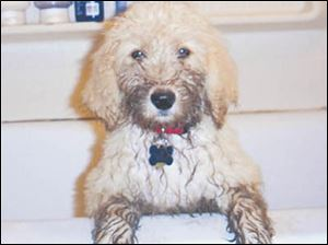 Wags, Heidi Agerter's Golden Doodle, looks like he's ready for trouble.