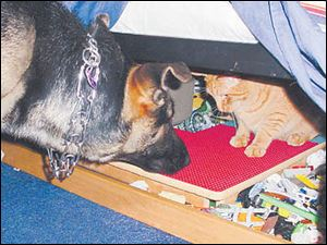 Lily, Joe Axe's German shepherd, corners a cat.