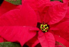 Get-poinsettias-to-bloom-again-late-next-year