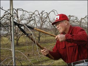 The warm weather has been a blessing for Earl Johnston of Johnston Fruit Farms in Swanton, as he is able to take advantage of the conditions to prune his apple trees.