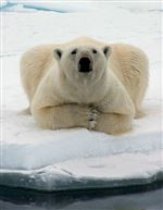 Polar-bears-why-we-should-care