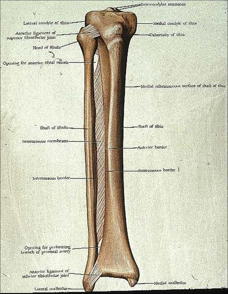 The tibia and fibula are the bones that run from the knee to the ankle ...