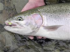 Contaminants-in-steelhead-trout-prompt-warning
