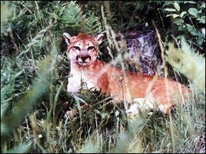 Felis concolor, commonly known as the mountain lion or puma: