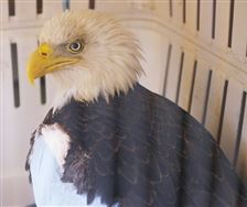 Saving-eagle-is-a-patriotic-task-for-Erie-Point-Place-brothers-2