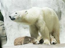 Polar-Bear-cubs-have-their-zoo-debut-today