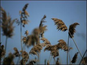 "Last years growth of Phragmites also known as ""Giant Reed"" is seen Sunday, May 13, 2007, at Maumee Bay State Park in Oregon, Ohio. Invasive bamboo-like plants that grow taller than adults have choked out native plants in a marsh that once teemed with life along Lake Erie."