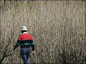 "A man walks past last year's growth of Phragmites, also known as ""Giant Reed,"" Sunday, May 13, 2007, at Maumee Bay State Park in Oregon, Ohio. Invasive bamboo-like plants that grow taller than adults have choked out native plants in a marsh that once teemed with life along Lake Erie."