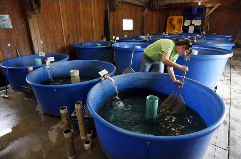 Livestock that swim gaining popularity as business in area for Koi fish farm near me