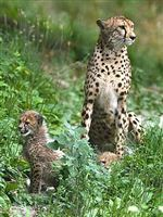 New-cheetah-cubs-on-display-at-the-Toledo-Zoo