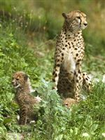 CHEETAH-CUBS-INTRODUCED-TO-THE-PUBLIC-AT-TOLEDO-ZOO