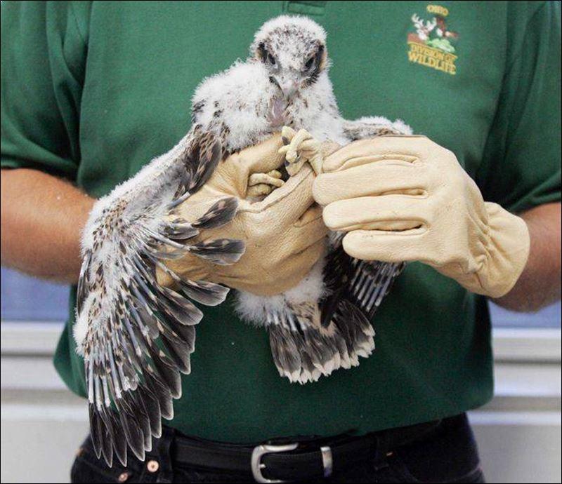 Peregrine Falcon Talons a Peregrine Falcon Chick Named