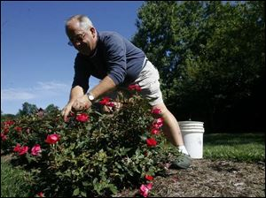 Tom Colvin nurtures the roses at the Hospice Center of Northwest Ohio in Perrysburg Township. Mr. Colvin began to volunteer after his first wife, Audry, died in a