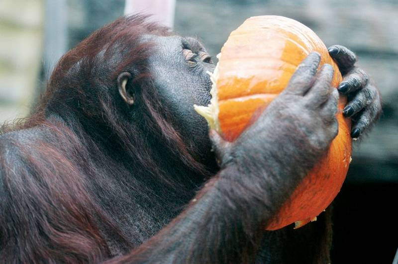 kutai a female orangutan at the toledo zoo munches on one of the leftover decorations from the pumpkin path after enjoying the treats inside