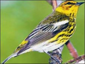 A Cape May warbler finds a perch at Magee Marsh.