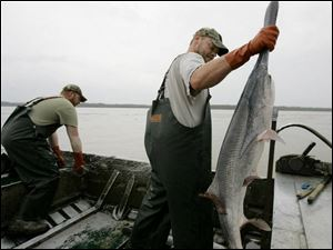 Charlie Hopkins, right, deposits a paddlefish as Vincent Halligan works the net at Smithland, Ky. Kentucky, Indiana, and Tennessee advise limited intake of caviar from the paddlefish.