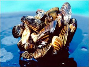 Zebra mussels like these from Lake Erie arrived in the Great Lakes more than 20 years ago. They are among more than 180 invasive species that have established a stronghold in the lakes and remain one of the most costly invaders.