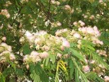 Mimosa-tree-can-thrive-in-our-climate