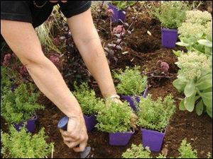 Deciding how dense to plant creeping perennials depends on how much money is in the budget and if instant gratification is a priority. Plant most varieties 2- to 12-inches apart. The plant tags contain instructions, and a plant spacing calculator is online at www.stepables.com.
