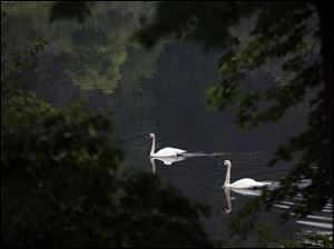 A trumpeter swan glides across Hidden Lake at the 75-year-old botanical park operated by Michigan State University.