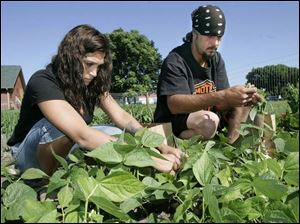Wendy Evans and Ray Deitz pick green beans at the Salvation Army's Family Manor. The Monroe High School girls' softball team planted the garden this year and residents at the shelter maintain the plants and harvest the fruits and vegetables.