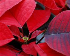 Greenhouse-displays-new-trial-poinsettias-2