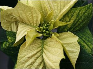The Egg Nog trial poinsettia is also on display at Bostdorff's.