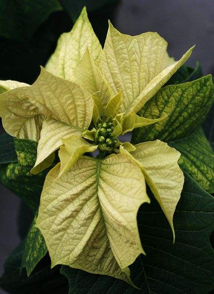 Greenhouse-displays-new-trial-poinsettias-3