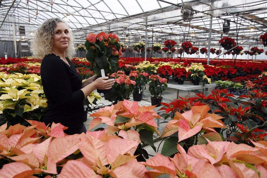 Greenhouse-displays-new-trial-poinsettias