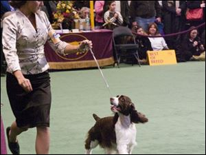 Bloomie, a 4-year-old English springer spaniel, goes through her paces at an earlier dog show. Bloomie will be judged at 3:30 p.m. today at the Westminster Dog Show in New York City.