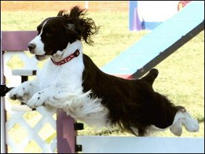 Bloomie, an English Springer spaniel owned by Laurie Green of Sylvania Township, competes today in the prestigious Westminster Dog Show with others in her breed.
