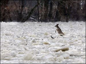 A white-tail deer struggles to escape the ice in the fast-flowing Maumee River at Grand Rapids, Ohio. The rising river there, as in other places in the region, has residents on flood watch.