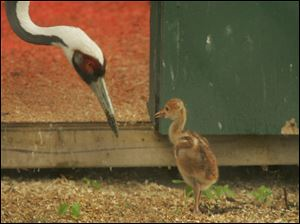 The Toledo Zoo's white-naped crane mother, Anita, watches her chick that hatched April 27. The baby's arrival was a first for the zoo. The species is considered vulnerable.