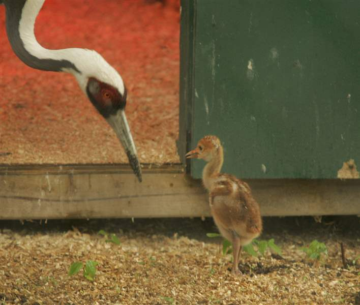 White-naped-crane-chick-something-to-crow-about