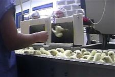 Video-shows-chicks-ground-up-alive-at-egg-hatchery