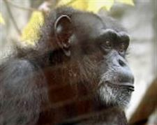 Chimpanzee-dies-at-Toledo-Zoo