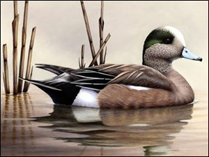 Robert Bealle from Waldorf, Md., created this portrait of a drake, or male, American wigeon. He won first place out of 224 entries.