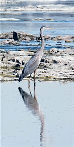 Toledo-Magazine-Outdoors-Page-The-big-birds-of-the-river-2