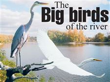 Toledo-Magazine-Outdoors-Page-The-big-birds-of-the-river