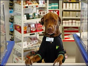 Wearing a uniform and name tag, Cody, a chocolate Labradaor retriever, greets people who pull up to the drive-through window of the family-owned gas station-convenience store in Clearwater, Fla. on Tuesday, Nov. 24, 2009. Store owner Karim Mansour said he started bringing Cody to work five months ago for company on the early morning shift. The dog quickly became a celebrity among store regulars. Mansour said Cody helps customers by calming those who come in sad or angry.