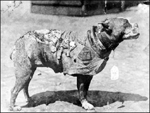 Sergeant Stubby, a 'pit bull' terrier, was the most decorated dog of World War I. His accomplishments included alerting soldiers in Europe to mustard-gas attacks and locating wounded men.