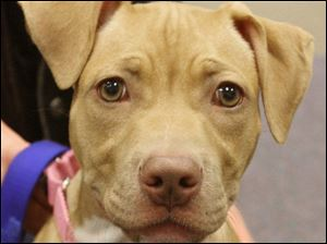 Ariel is a 5- month-old American Staffordshire bull terrier that is taking part in the sessions in which volunteers learn how to teach owners of 'pit-bull'-type dogs how to handle them.
