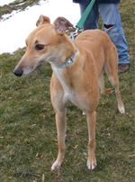 Local-agency-is-on-track-to-find-homes-for-greyhounds