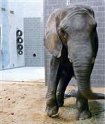 Toledo-Zoo-takes-in-elephant-confiscated-from-Indiana-circus