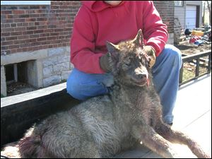 Dusty Gore holds the head of a wolf he shot recently in Sandusky County near York School.