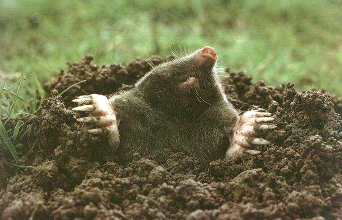 How to get rid of ground moles - How To Get Rid Of Ground Moles 42