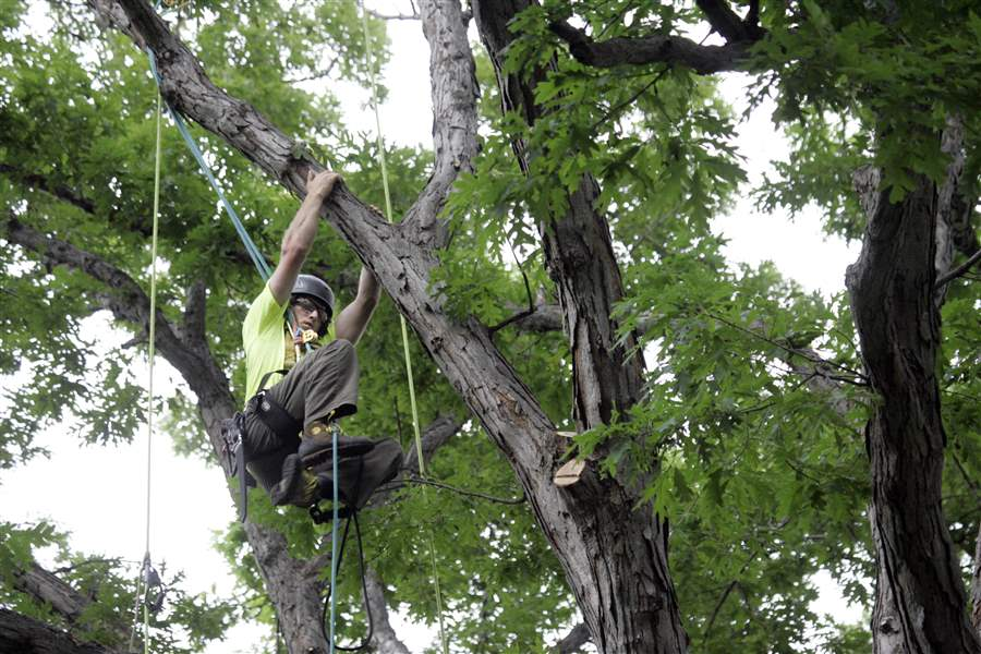 Competitors-go-out-on-a-limb-to-win-tree-climbing-contest