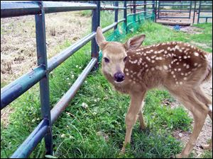After its 'rescue' by a Toledo police sergeant, a fawn escaped an enclosure before it could be confiscated by Ohio wildlife officers.