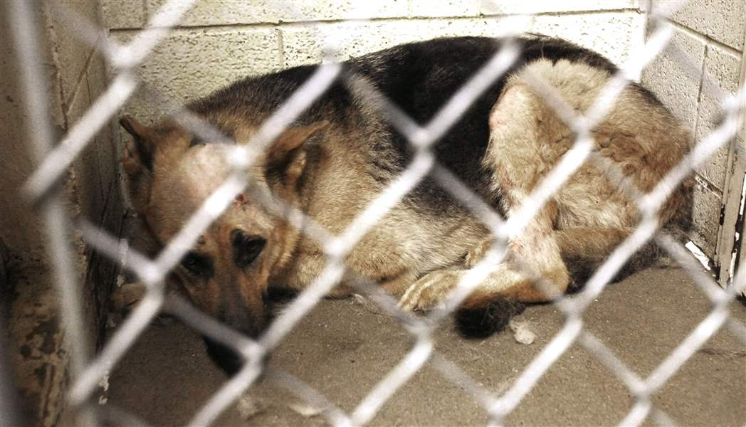 People-far-and-wide-hope-to-adopt-Sarge-dog-shot-6-times-in-cage